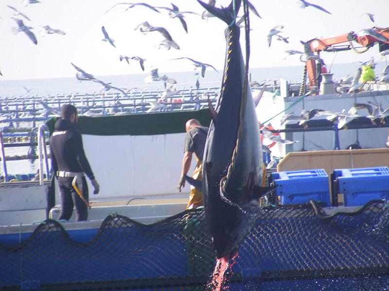 L´Ametlla de mar pescando atunes